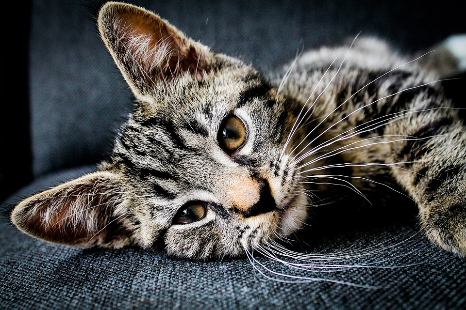 Kat, Katachtig, Huisdier, Snorharen, Dierlijke, Gezicht