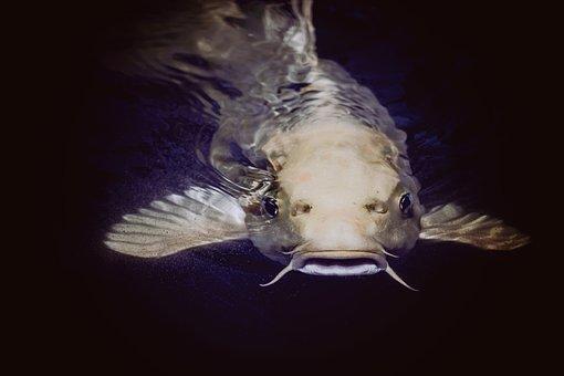 Catfish, Animal, Fish, Pond, Swimming