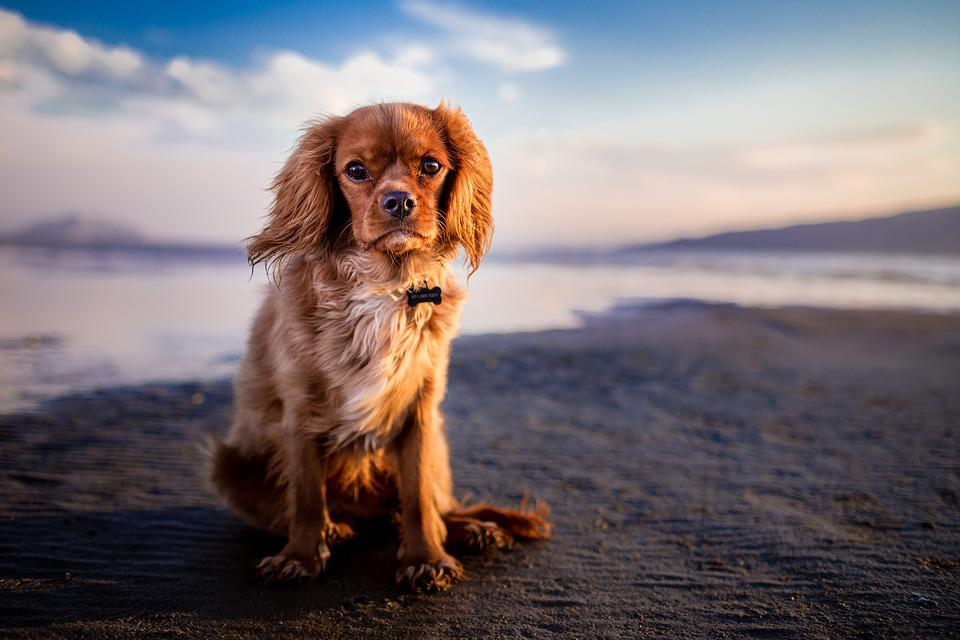 Hond, Huisdier, Strand, Oever, Kust, Zand, Zandstrand