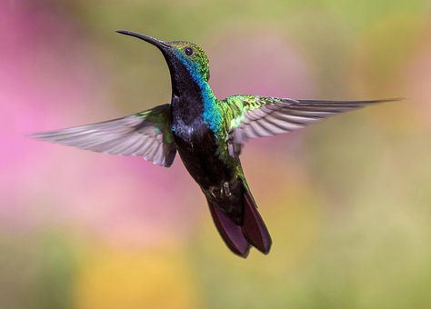 Hummingbird, Bird, Flight, Avian