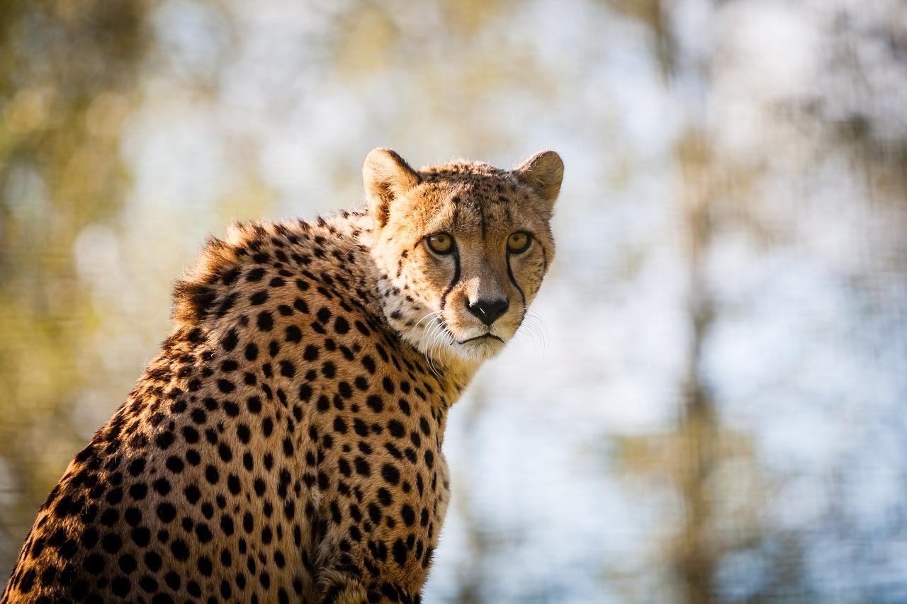 гепард фото животного последнем