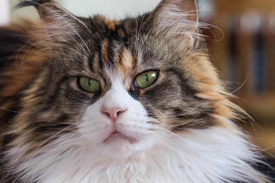 Kat, Maine Coon, Ras, Huiskat, Kat De Ogen, Katten Ogen