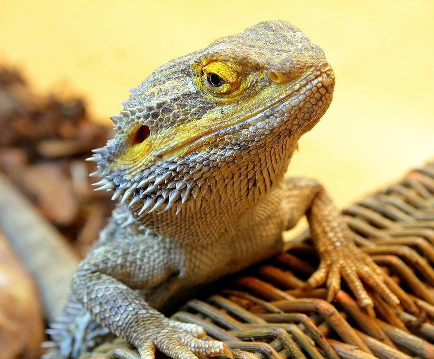 Bearded Dragon Reptile \u00b7 Free photo on Pixabay