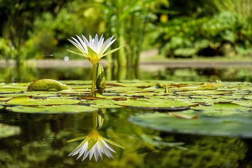 Water Lily, Flower, Bloom, Pond