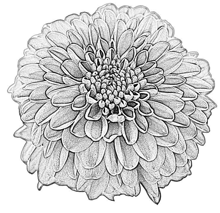 Free illustration dahlia drawing blossom bloom free image on pixabay 1859524 - Dahlia dessin ...
