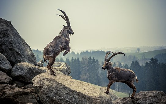 山羊座, 岩, 動物, 山, 高山の Ibex, 高山, 角, アルパイン