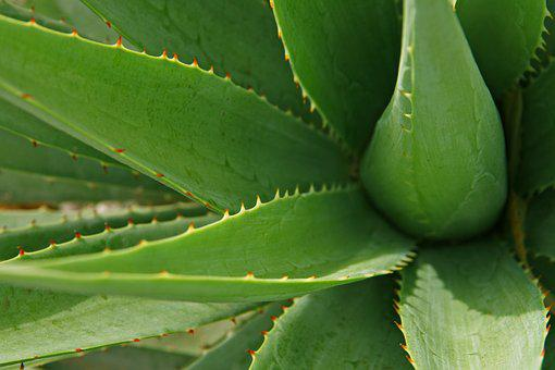 Leaves, Aloe, Leaf, Plant, Nature