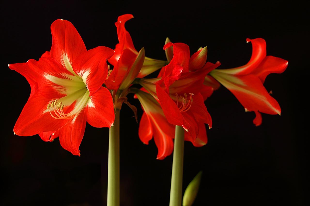 фото цветка амариллис видно визуально, некоторых