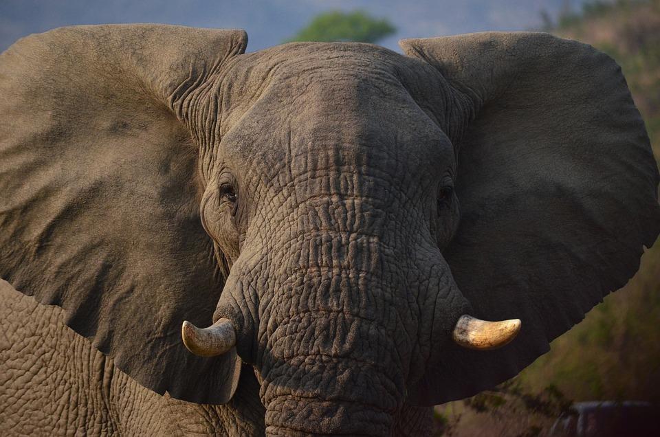 L phant afrique savane du photo gratuite sur pixabay - Photos d elephants gratuites ...