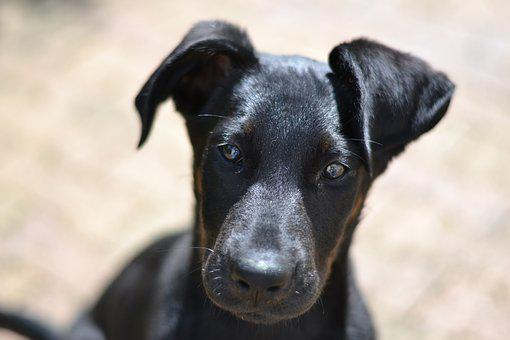 Beauceron, Look, Puppy, Domestic Animal
