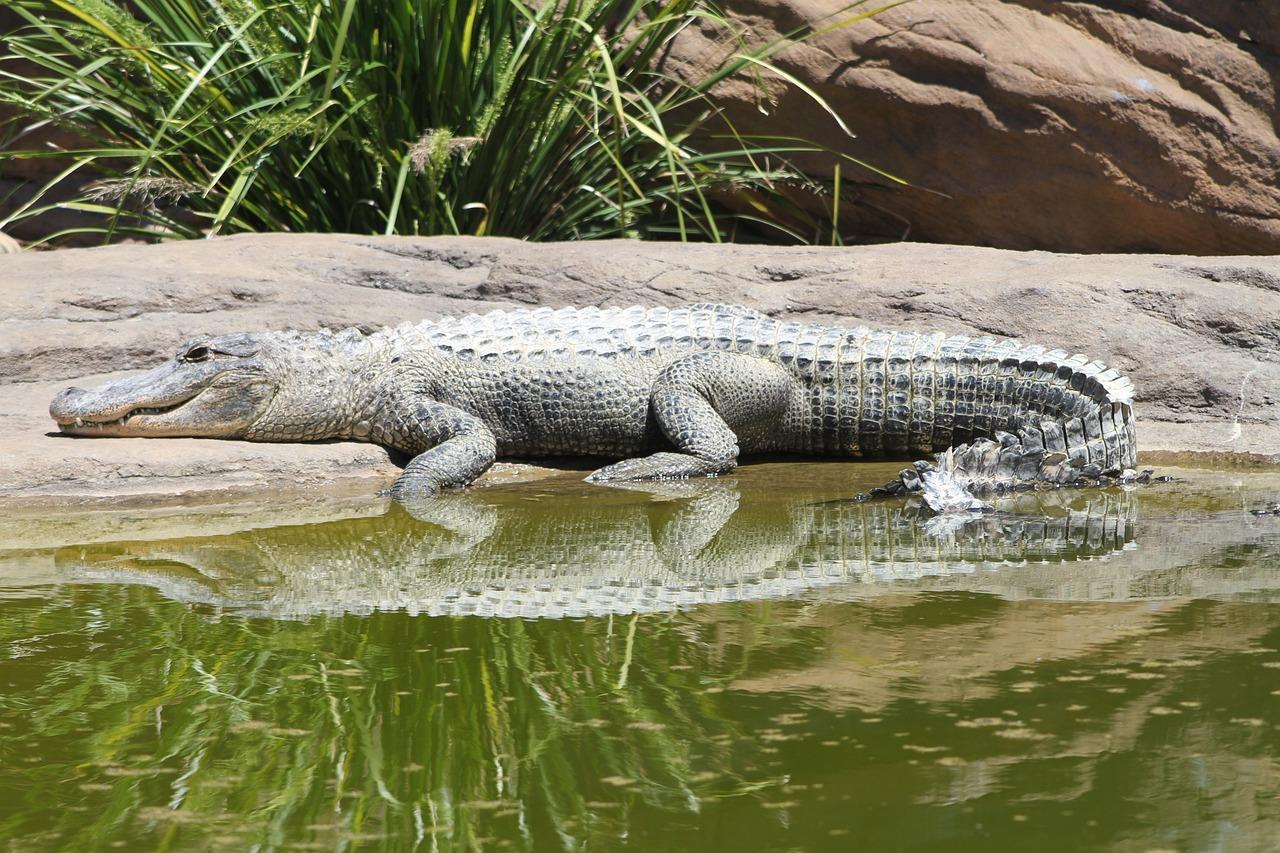 Крокодил аллигатор картинка