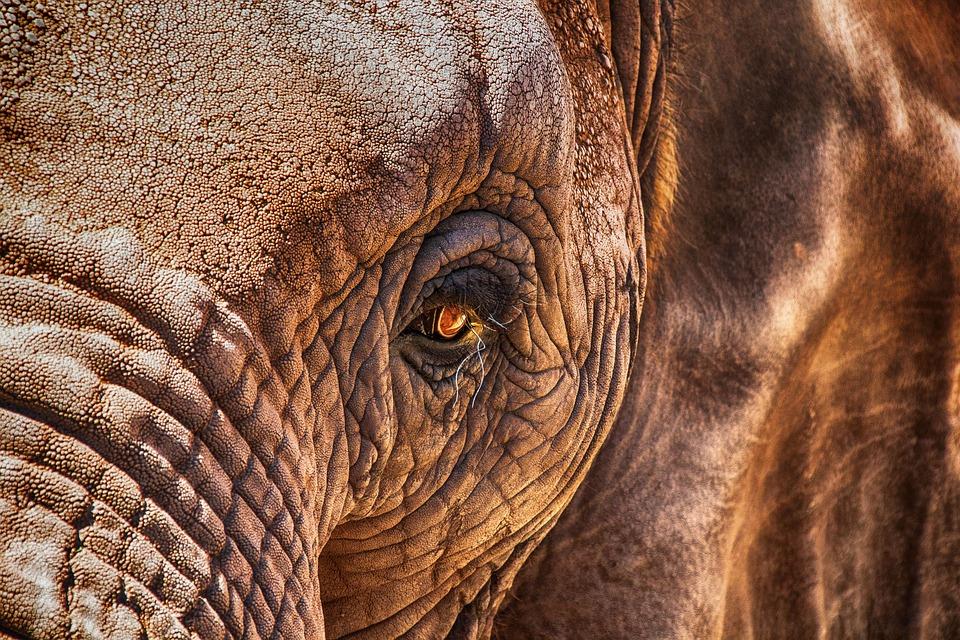 Éléphant, Œil, Fermer, Afrique, Proboscidea, Peau