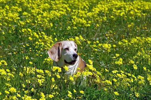 Beagle, Dog, Elderly, Snuff, Hound