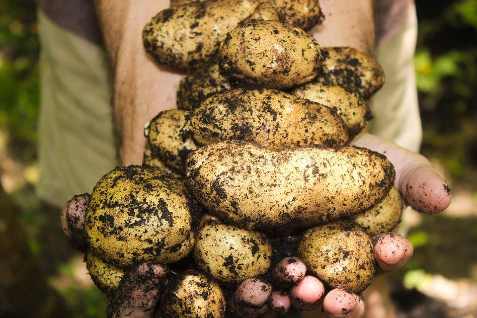 All Natural, Garden, Organic, Potato Plant, Potatoes