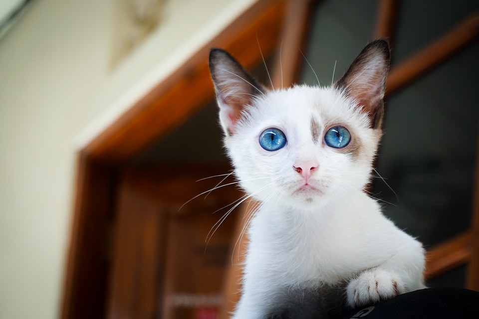 kitten 1866475 960 720