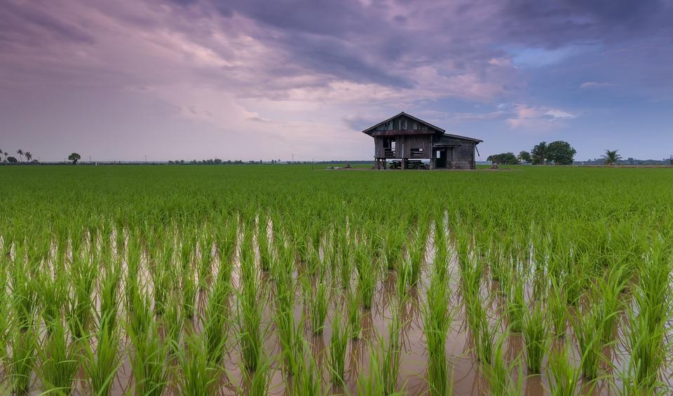 田んぼ, コテージ, 農場, 農地, 農業, 栽培, プランテーション, 米農園, 田舎, 地平線, 農家