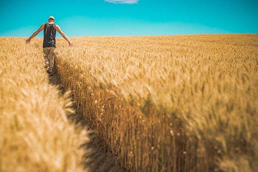 男, 小麦作物, オオムギ, 作物, シリアル, 食物, 穀類, 大麦畑, 主食