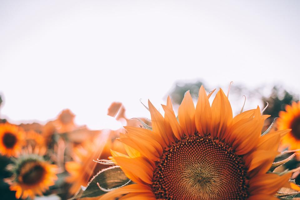 Bloom, Girasole, Fiore, Close Up, Campo, Flora, Fiori