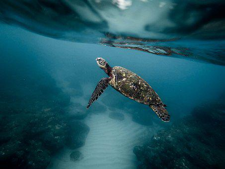 Animal, Turtle, Aquatic, Diving