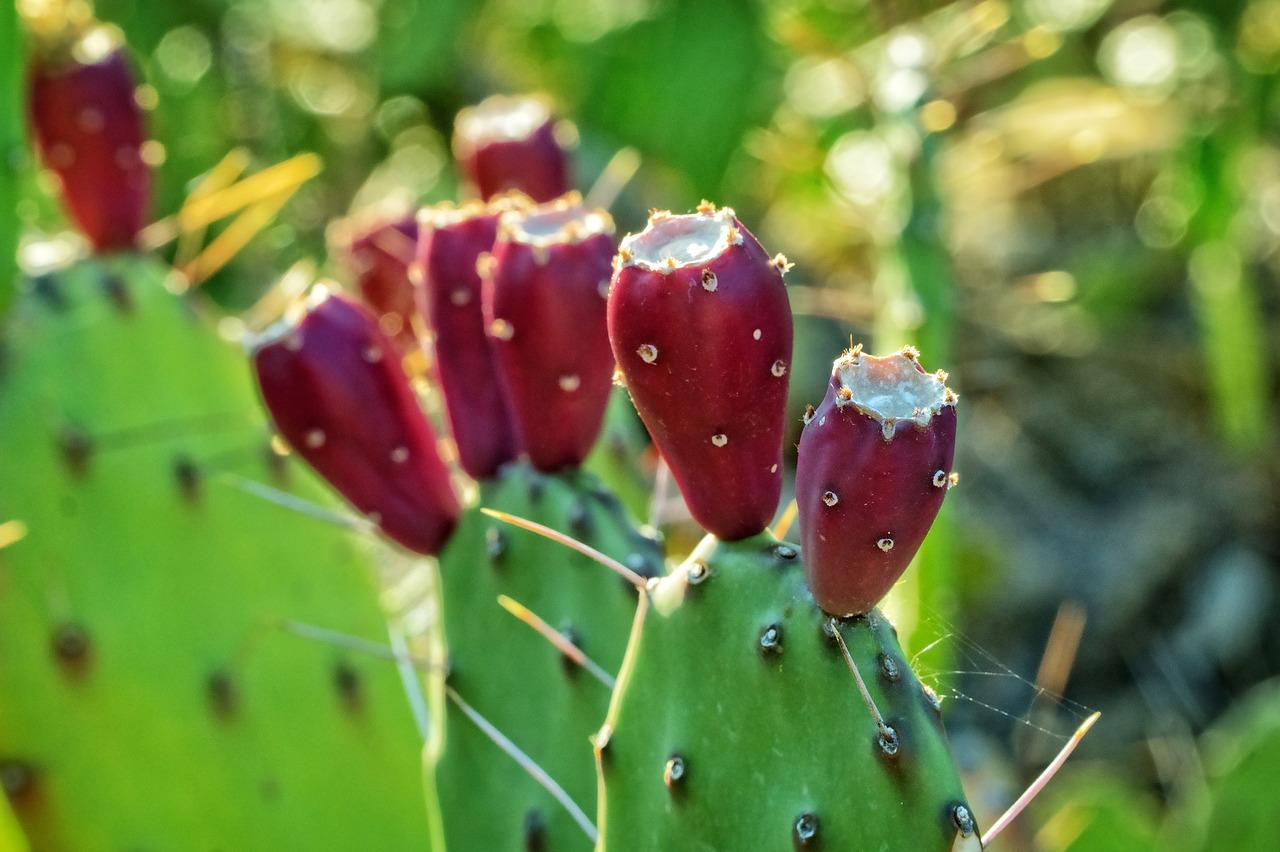 Cactus Fruit Plant Nature