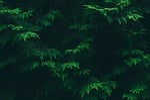 iglaste, zimozielony, zielony