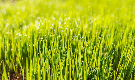 Dew Field Grass Green Hd Wallpaper