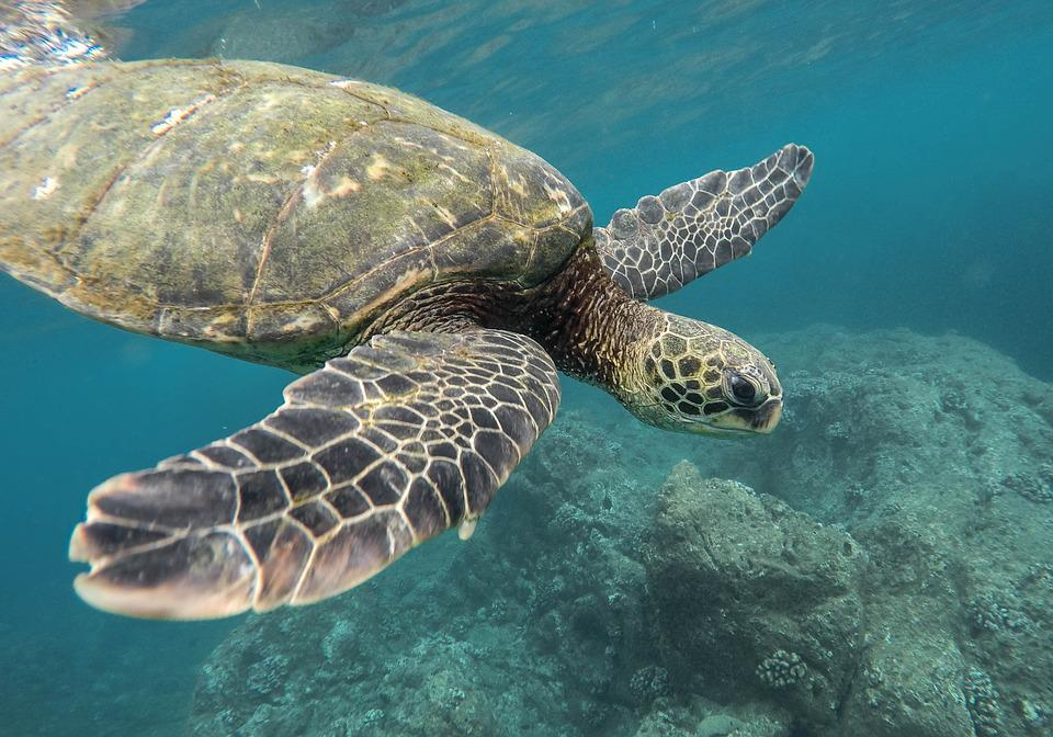 Animal, Turtle, Coral Reef, Ocean, Sea, Swimming