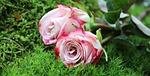 róże, kultura róż, szlachetne róże