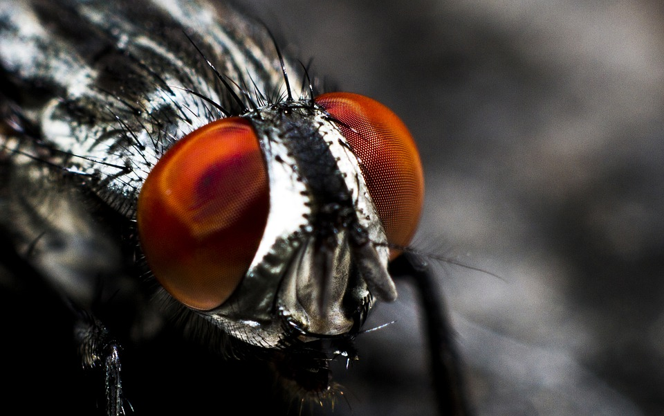 Fly, Insekt, Sammensatte Øyne, Bille, Insekt, Nærbilde