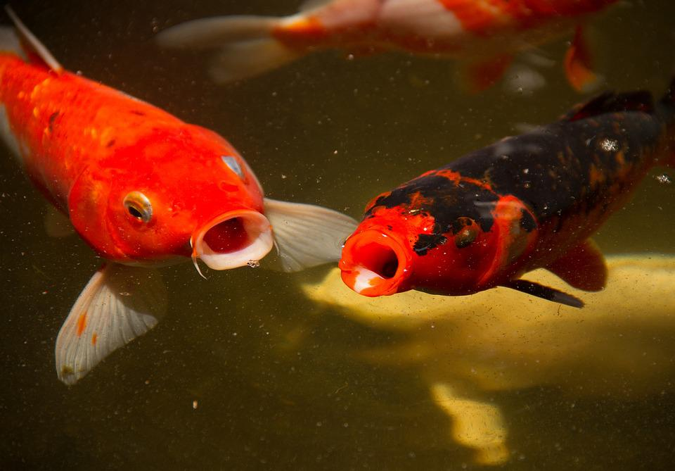 Calf fish lake free photo on pixabay for Freshwater pond fish