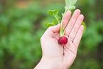 rolnictwo, rzodkiewka, żywności
