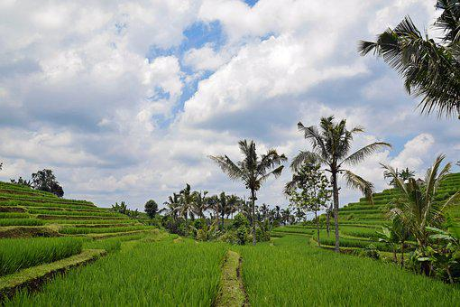 Bali, Indonesia, Travel, Rice Terraces