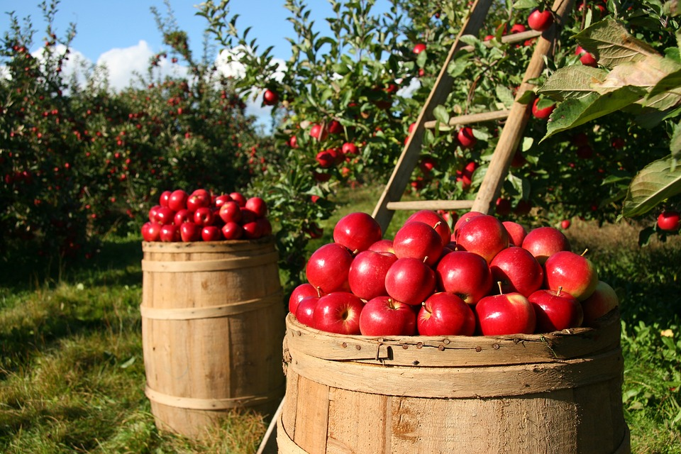 Apples, Fruits, Orchard, Nature, Trees, Food, Garden