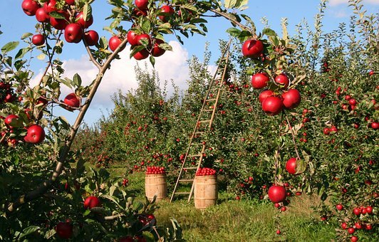 Apple Orchard Trees Red Green