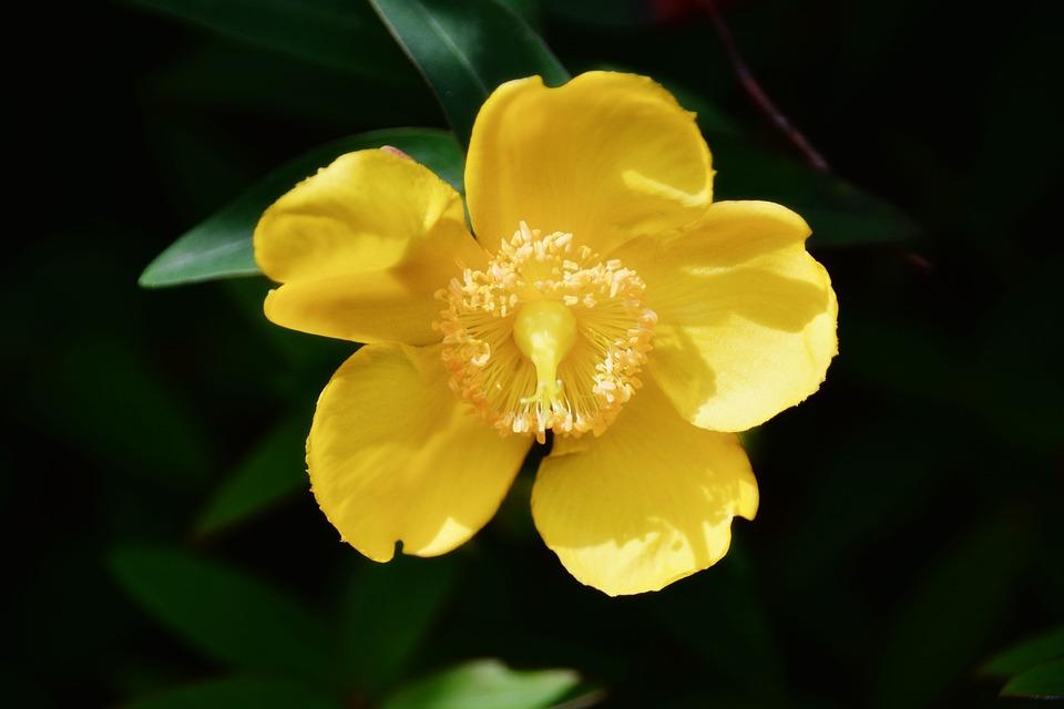 Fiore, Agrimonia, Fiore Giallo, Flora, Fioritura