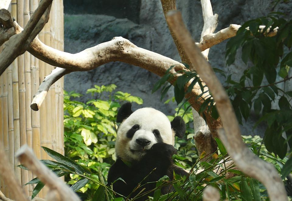 Панда, Медведь, Рисунок Гипсовой Головы, Млекопитающих