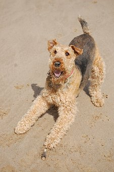Teacup Airedale Terrier Puppies For Sale in California, CA