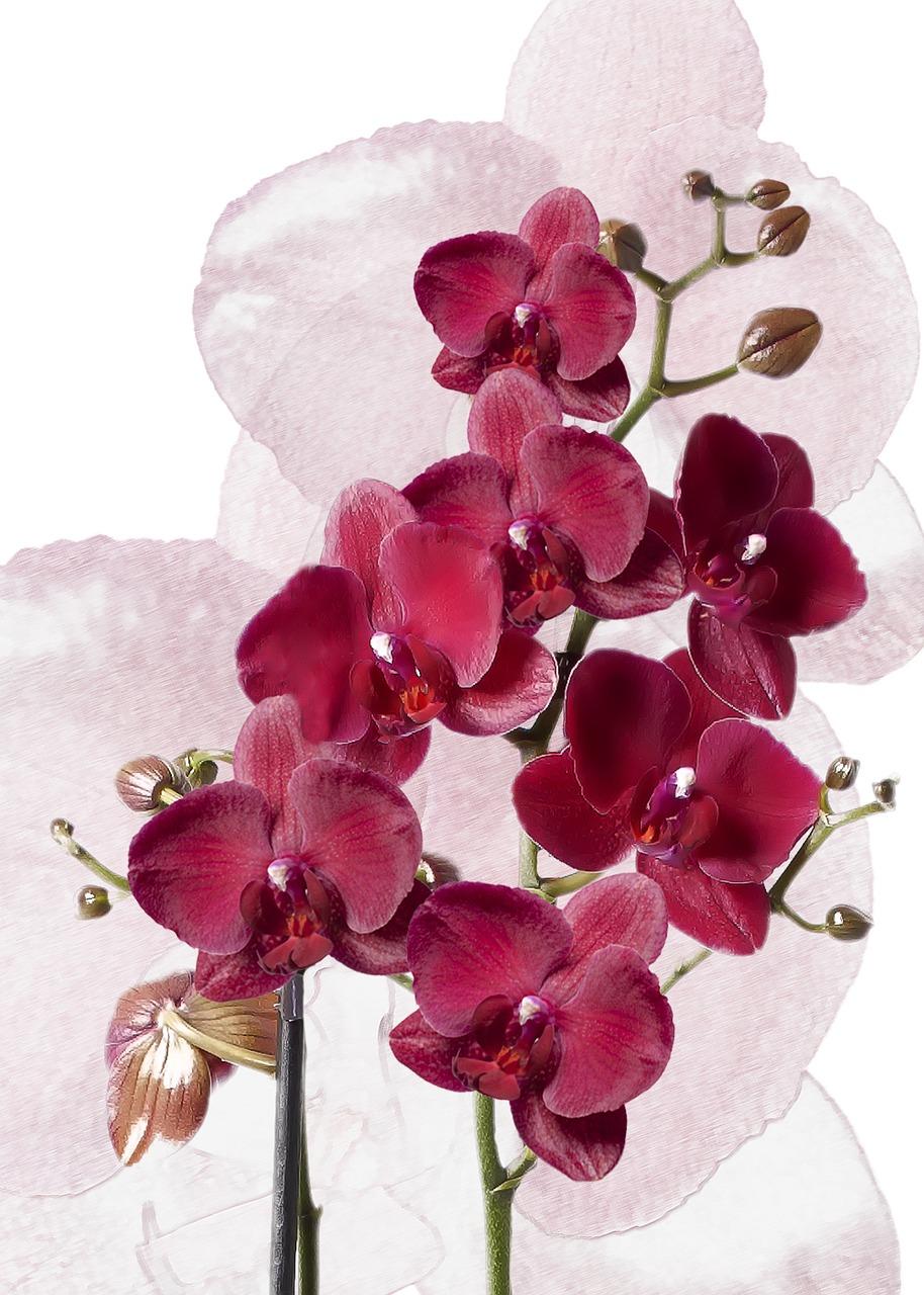 В картинках орхидеи фаленопсис