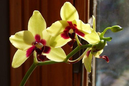 Phalaenopsis Híbrido Com Botões
