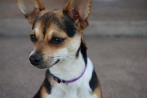 Dog, Chihuahua, Animal, Pet, Puppy, Cute