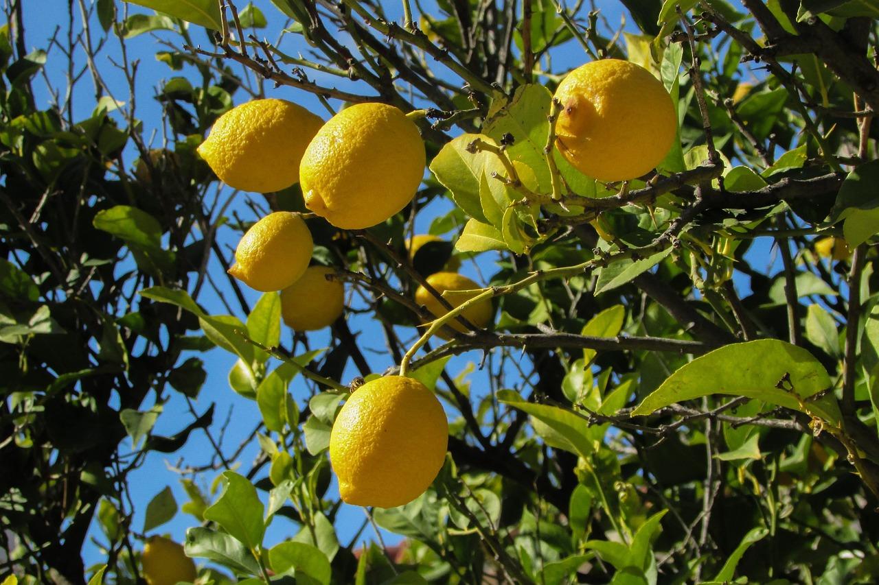 Открытка, дерево с лимонами картинки