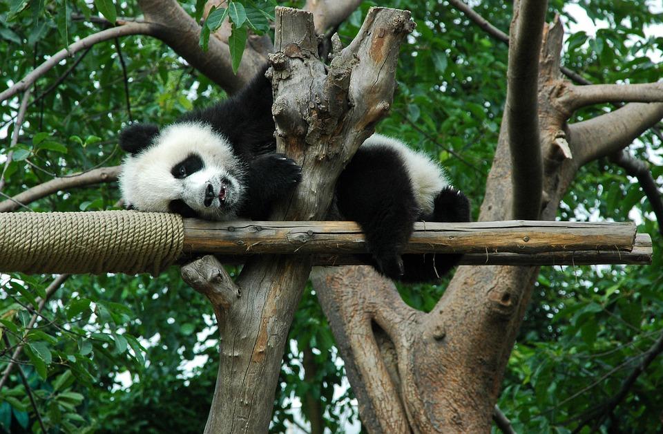 Giant Panda, Young, Animal, China