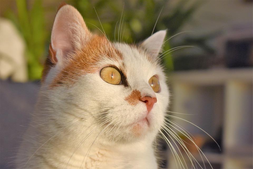Biela Veľká mačička pic
