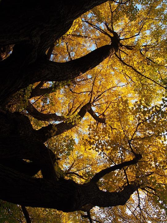 Ginkgo biloba, árbol nacional de China