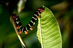 nature, caterpillar, voracious