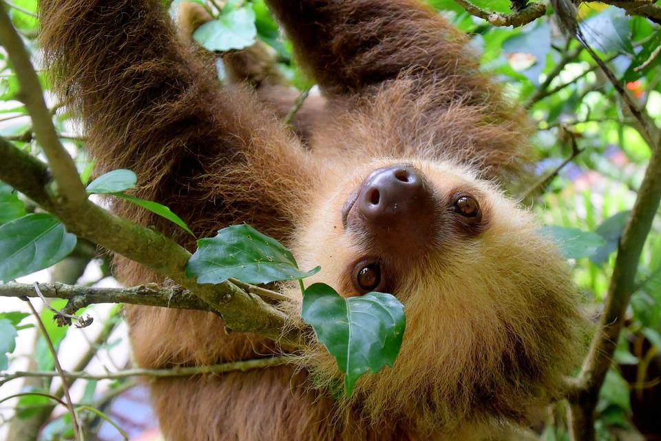 Sloth, Costa Rica, Puerto Viejo, Rainforest, Travel