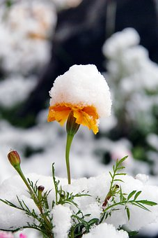 Snow flowers images pixabay download free pictures flower snow autumn plant closeup mightylinksfo