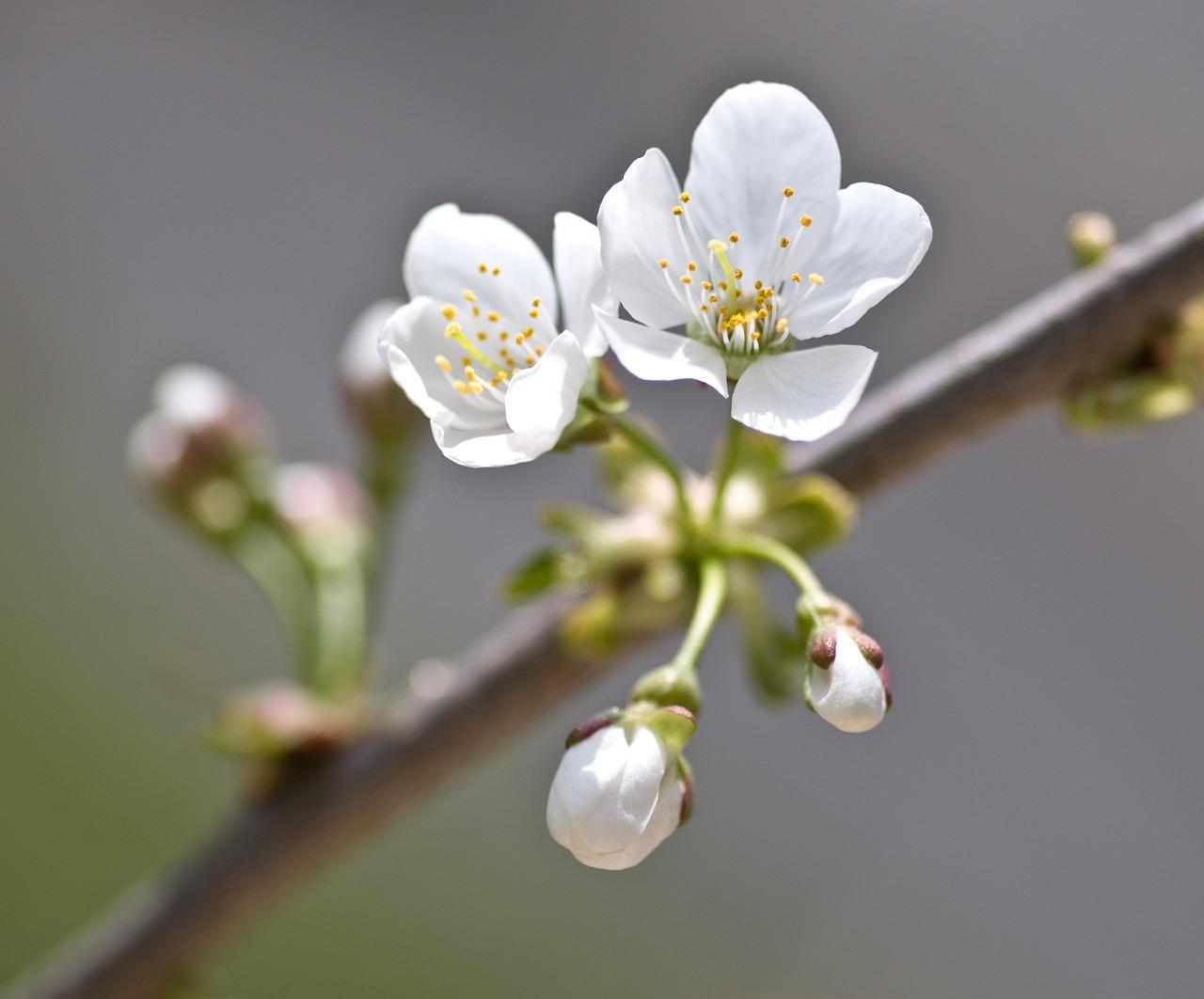 отличный цветы вишни фото картинки следком просит
