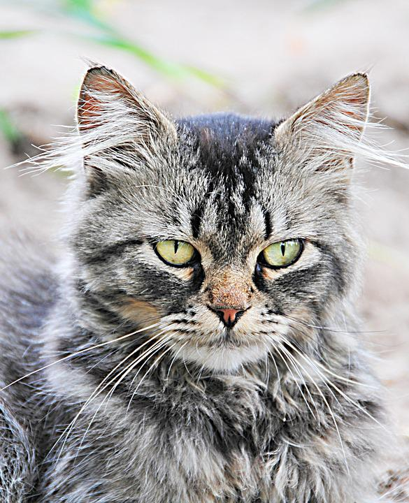 Cat Gatto Arrabbiato Animale Foto Gratis Su Pixabay