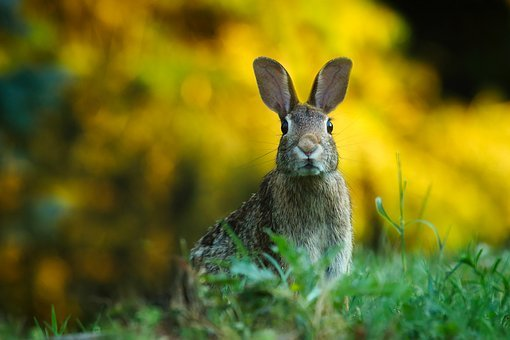 Rabbit Hare Animal Wildlife Cute Macro Clo